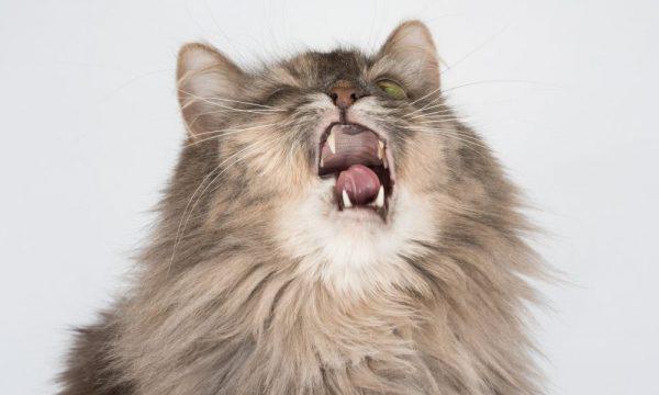 猫の咳の原因は?咳の症状が出る猫の病気を解説しますサムネイル