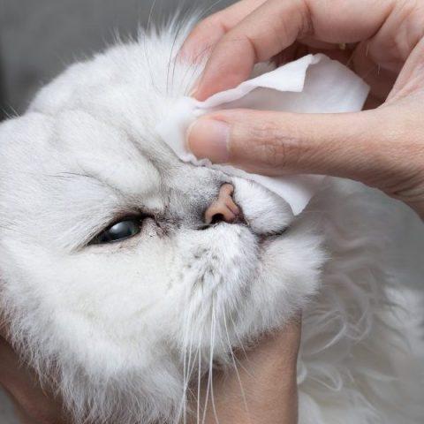 猫の目やにが多いのは病気?目やにの量から推測される病気とはサムネイル