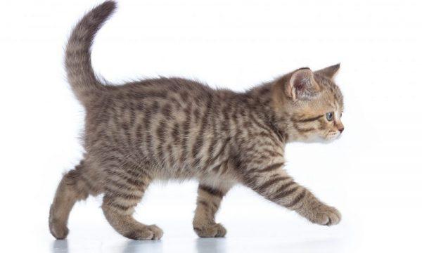 猫が変な歩き方をする!その症状と原因とは?詳しくご紹介サムネイル
